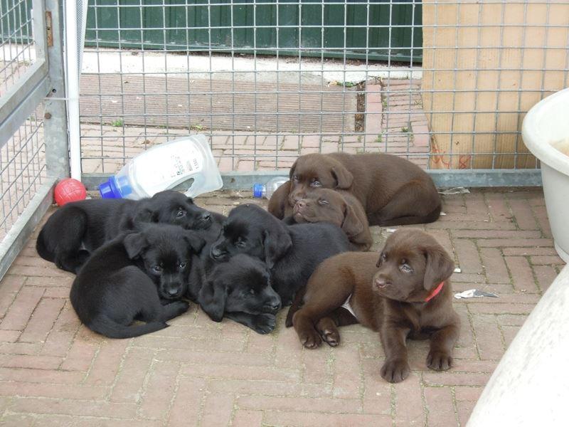 Labradorpups